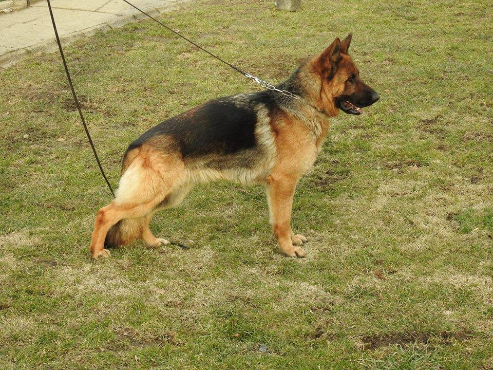 Góra Wilk Hajera - Hodowla psów rasy Owczarek Niemiecki OW22